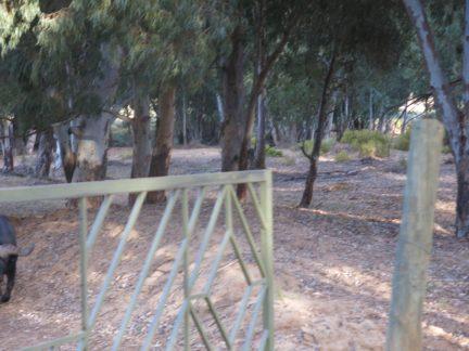 82. Porten lukker seg akkurat foran buffaloene