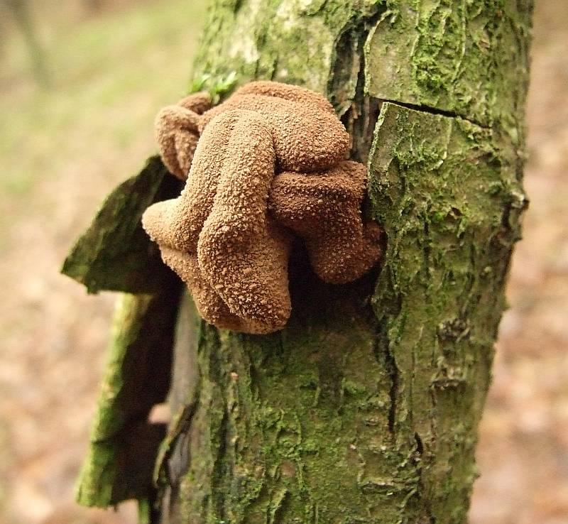 Encoelia furfuracea