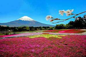 関東芝桜富士