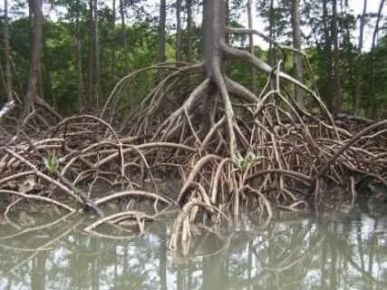 श्वसन-सूल (Prop roots and pneumatophores)