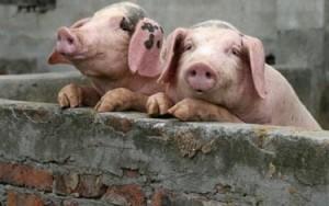 Ekologiškos kiaulės?