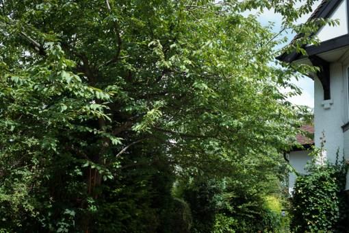 Cherry Tree Removal, Derbyshire 02