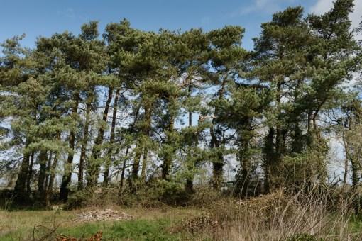 Scots Pine Crown Lift, Longford, Ashbourne © Gardenscape 01