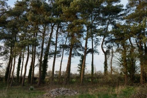Scots Pine Crown Lift, Longford, Ashbourne © Gardenscape 02