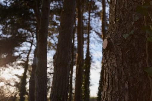 Scots Pine Crown Lift, Longford, Ashbourne © Gardenscape 05