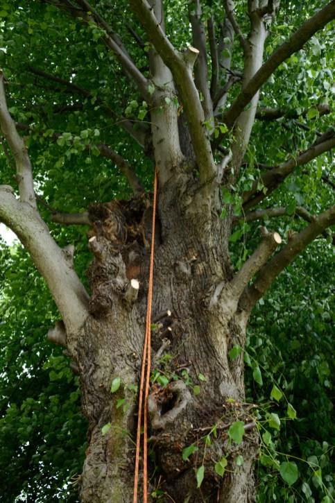 TPO Lime Tree Littleover @ Gardenscape Derby 05