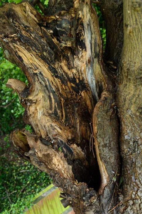 TPO Lime Tree Littleover @ Gardenscape Derby 06