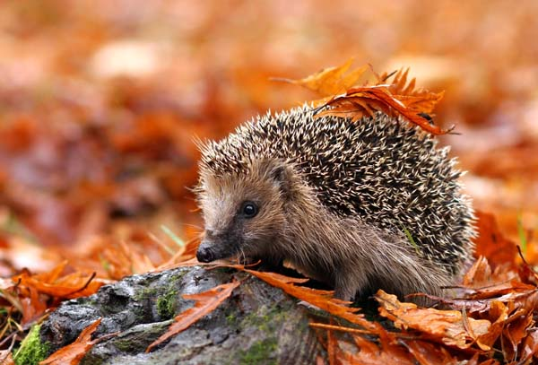 Save Our Hedgehogs