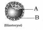 GSEB Solutions Class 12 Biology Chapter 3 Human Reproduction 22