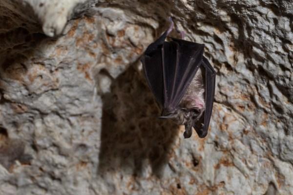 Chirottero (pipistrello) nella Grotta di Foggia Nuova