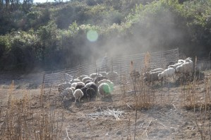 Sheeps' keeping