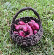Hervest of purple sweet potatoes at Bosque Berlin