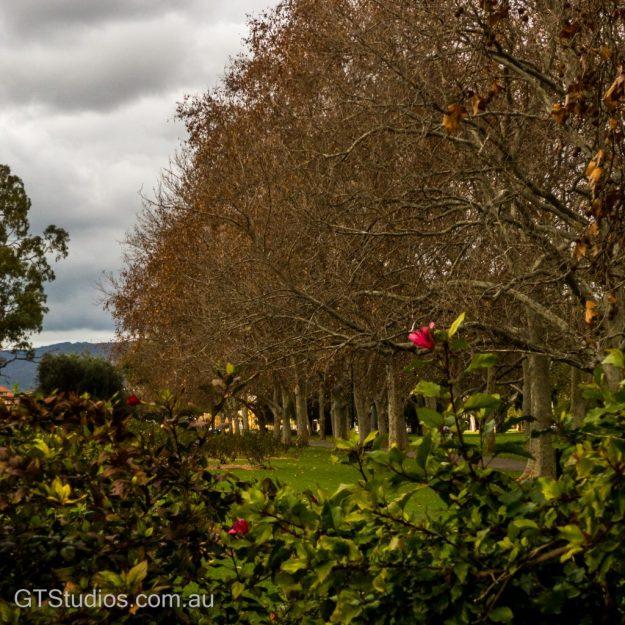 Trees Rymill Park