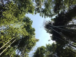 24. The tree-cover of the bamboo grove.