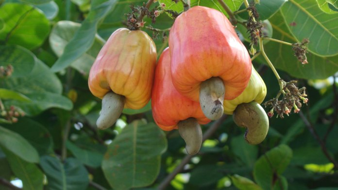 Economics and techniques of modern cashew farming | 1