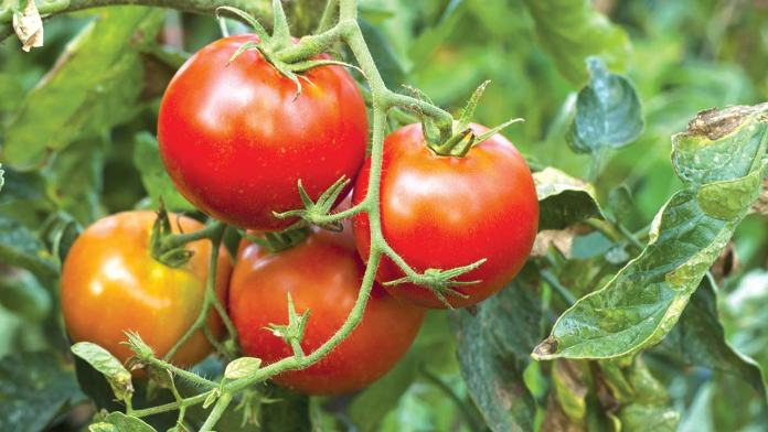 Odu'a declares N698m profit, cultivates tomatoes 1