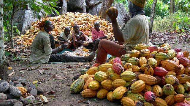 Image result for cocoa farming in nigeria