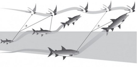 Behavioral strategies adopted by African tigerfish in the Schroda Dam