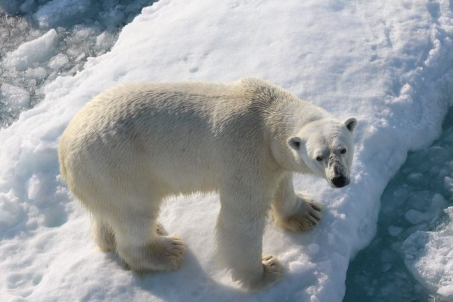 Diet of polar bears shifting in response to increase in sea ice melting