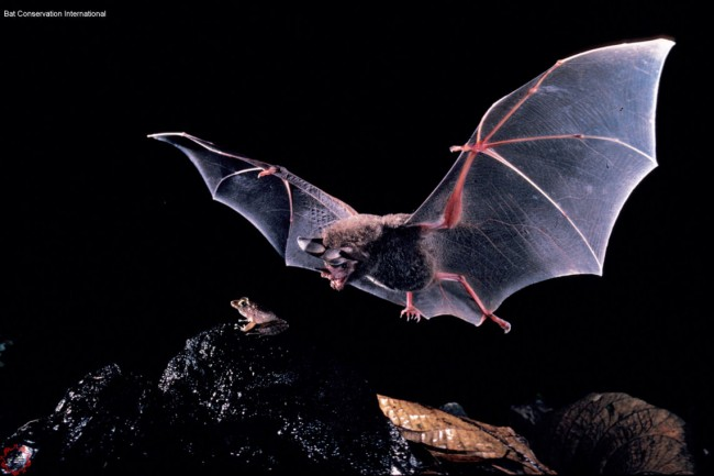 Frogs Mating Call Betrays Their Location to Predatory Bats
