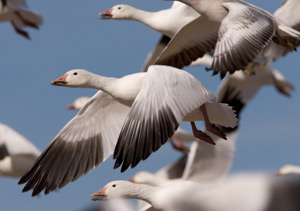 Lesser snow geese and their eggs are being hunted by polar bears
