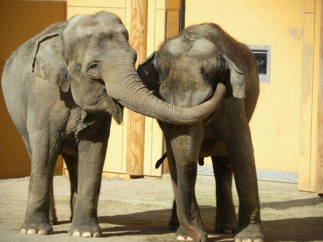 Social Elephants: Attack and Comfort