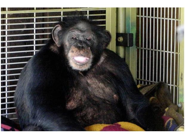 Chimpanzees Better Than Humans at Strategy Planning