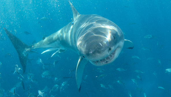 Great White Sharks Booming on US Coasts