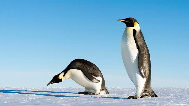 Mega Colossus Penguins As Tall As People Once Lived in Antarctica