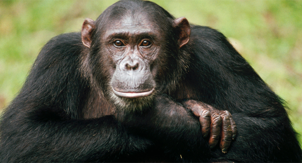 Chimpanzees Raised by Humans Are Surprisingly Antisocial