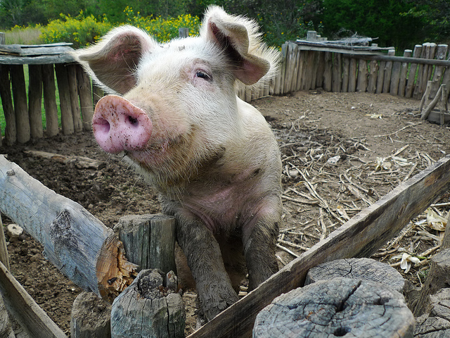 Unbelievable the 911 Call About a Stalker Pig Was Real