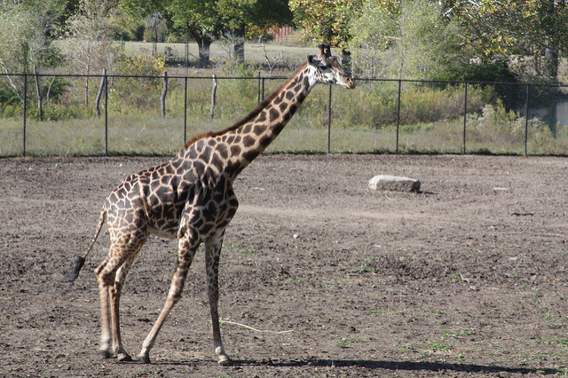 Giraffe Dies in Accident at Kansas City Zoo the Second to Die in a Week