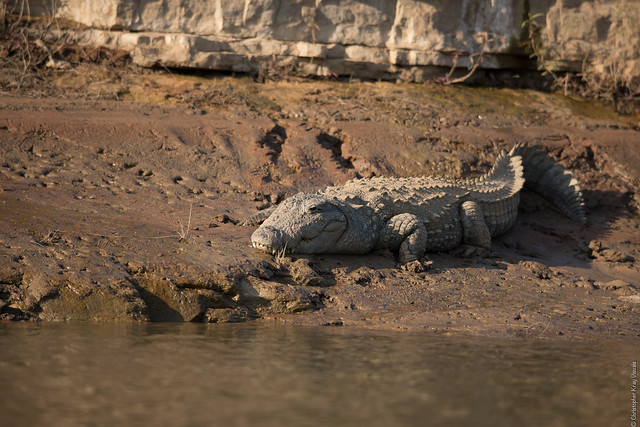 Endangered Crocodile Dies From Shock and Stress Due to Loud Bass Music