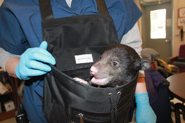Paradise the Bear Cub Injured in the California Camp Fire Is Healing