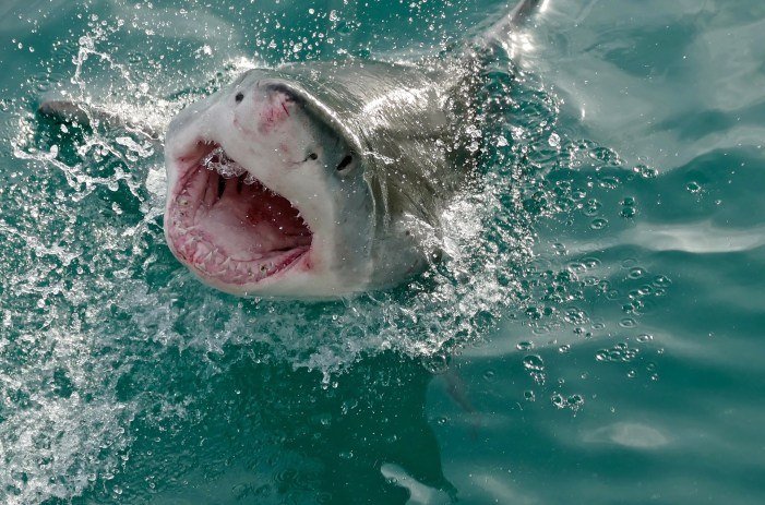 Shark Attack Killed Woman in Maine