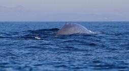 Blue Whales Make a Come Back After 50 Years of Being Nearly Wiped Out