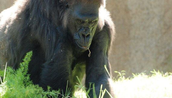 Western Lowland Gorillas Positive for COVID-19 at San Diego Zoo Safari