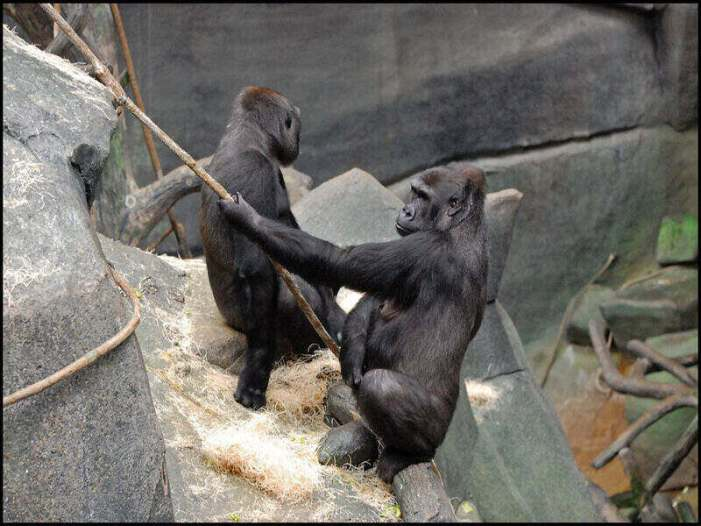 Experimental COVID-19 Vaccine Given to Great Apes in San Diego Zoo