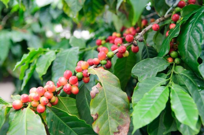 Coffee Beans Grow Best in Volcanic, Mountains, and Humid Rainforests Soil