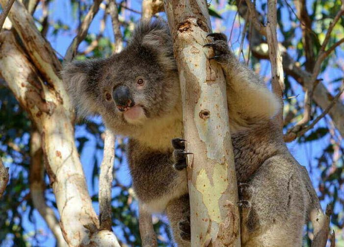 Australian Koalas to Be Vaccinated Against Chlamydia in New Trial Study