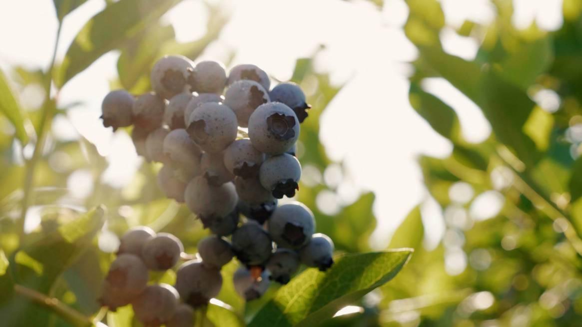 website image - blueberries