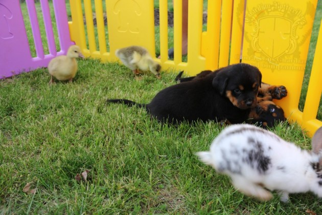 BunniesGeesePuppies08