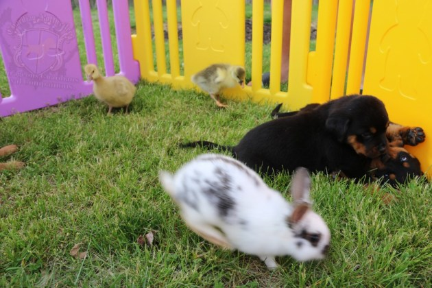 BunniesGeesePuppies09