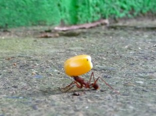 ant carrying a corn and almost collapsing