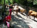 cattle crossing