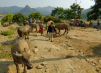 trading cattle in Bac Ha