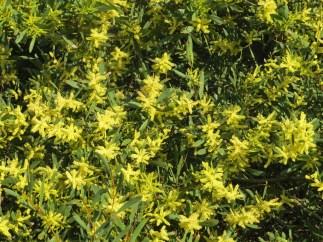 Acacias en flor