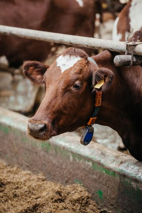 корова, совхоз ильинский, омк, олонецкий молочный комбинат, молоко карелии, олония, продукция олонии