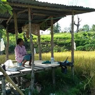 Manggaro di salah satu sawah warga di Kelurahan Kampung Jawa, Kota Solok