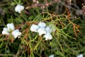 araar-2-tetraclinis-articulata